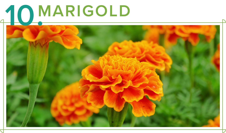 marigold medicinal plants
