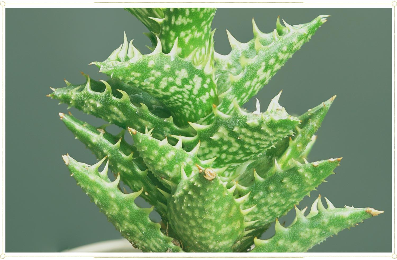 close up view of light green aloe vera foliage