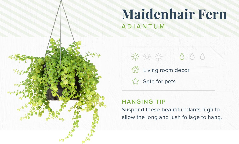 maidenhair fern indoor hanging plants