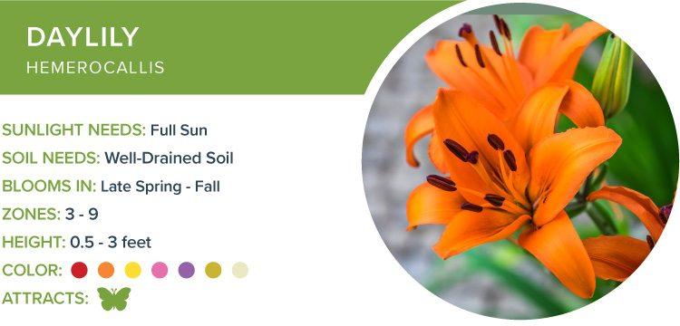 daylily best perennials for sun