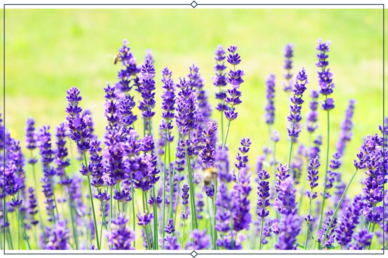 hidcote lavender type