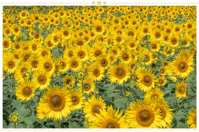 japanese flowers field