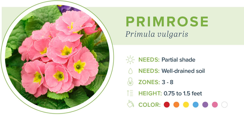 annual flowers primrose