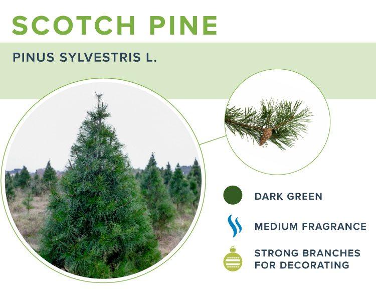 types of christmas trees scotch pine