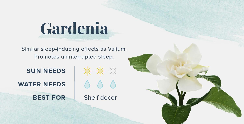 gardenia plants that help you sleep