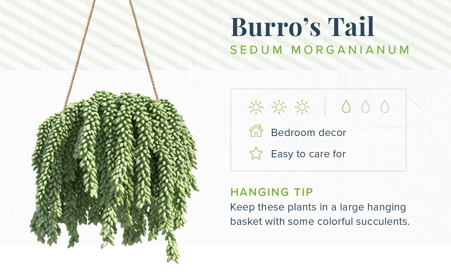indoor hanging plant burros tail
