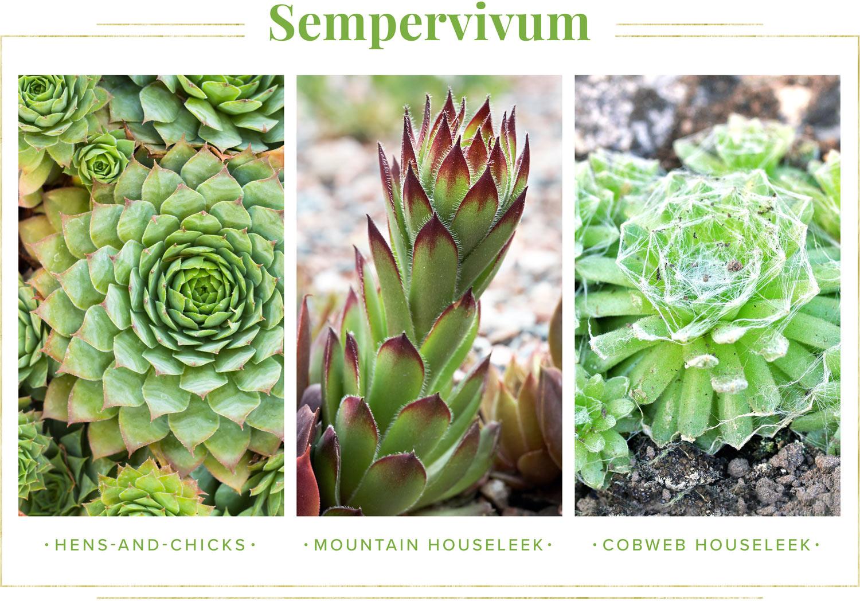 sempervivumm succulent types