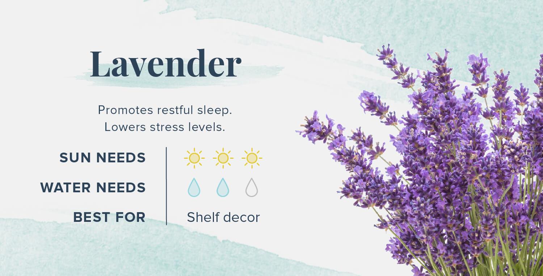 lavender plants that help you sleep