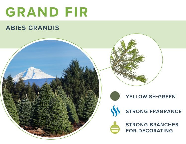 types of christmas trees grand fir