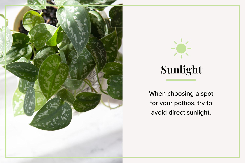 sunlight satin pothos