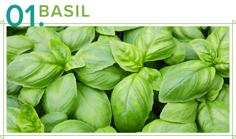 basil medicinal plants