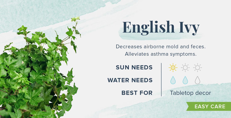 english ivy plants that help you sleep