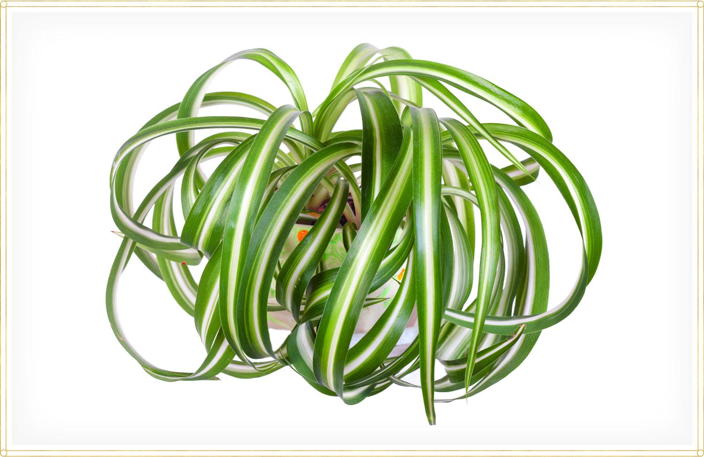 spider plant care chlorophytum comosum bonnie