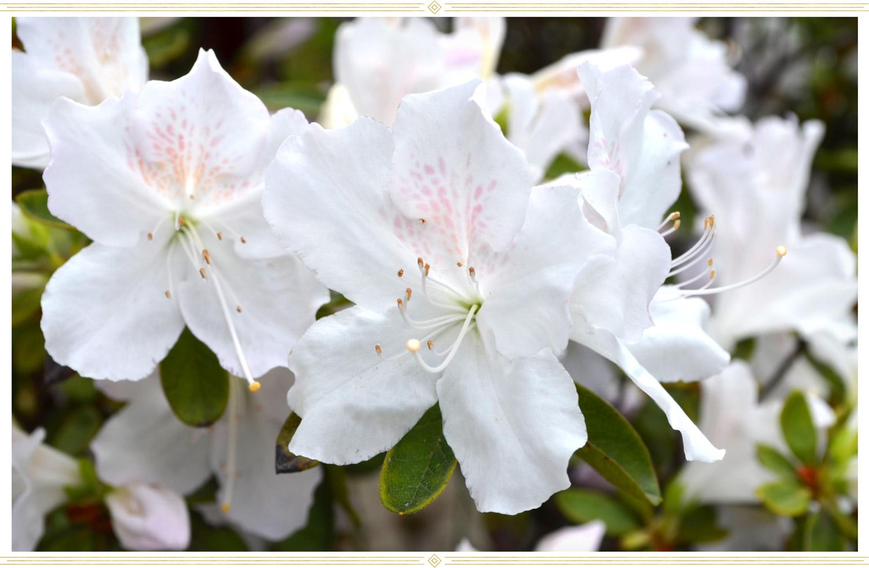 white evergreen azalea flower