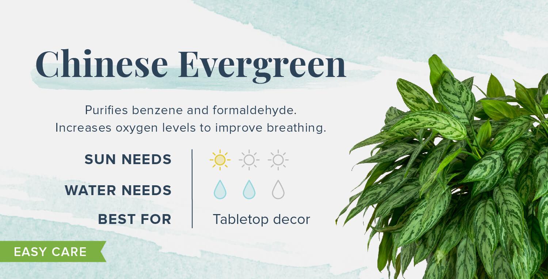 chinese evergreen plants that help you sleep