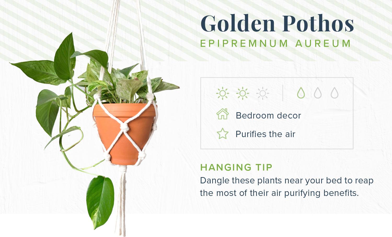 golden pothos indoor hanging plants