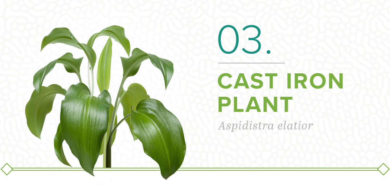 cast iron plants that don't need sun