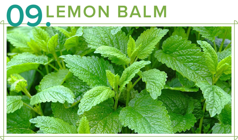 lemon balm medicinal plants