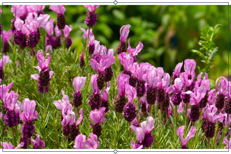 kew red lavender type