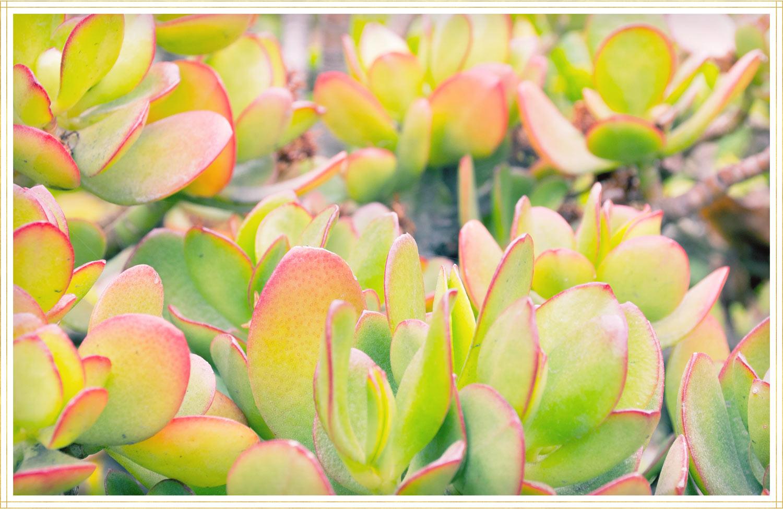 sunset jade plant image