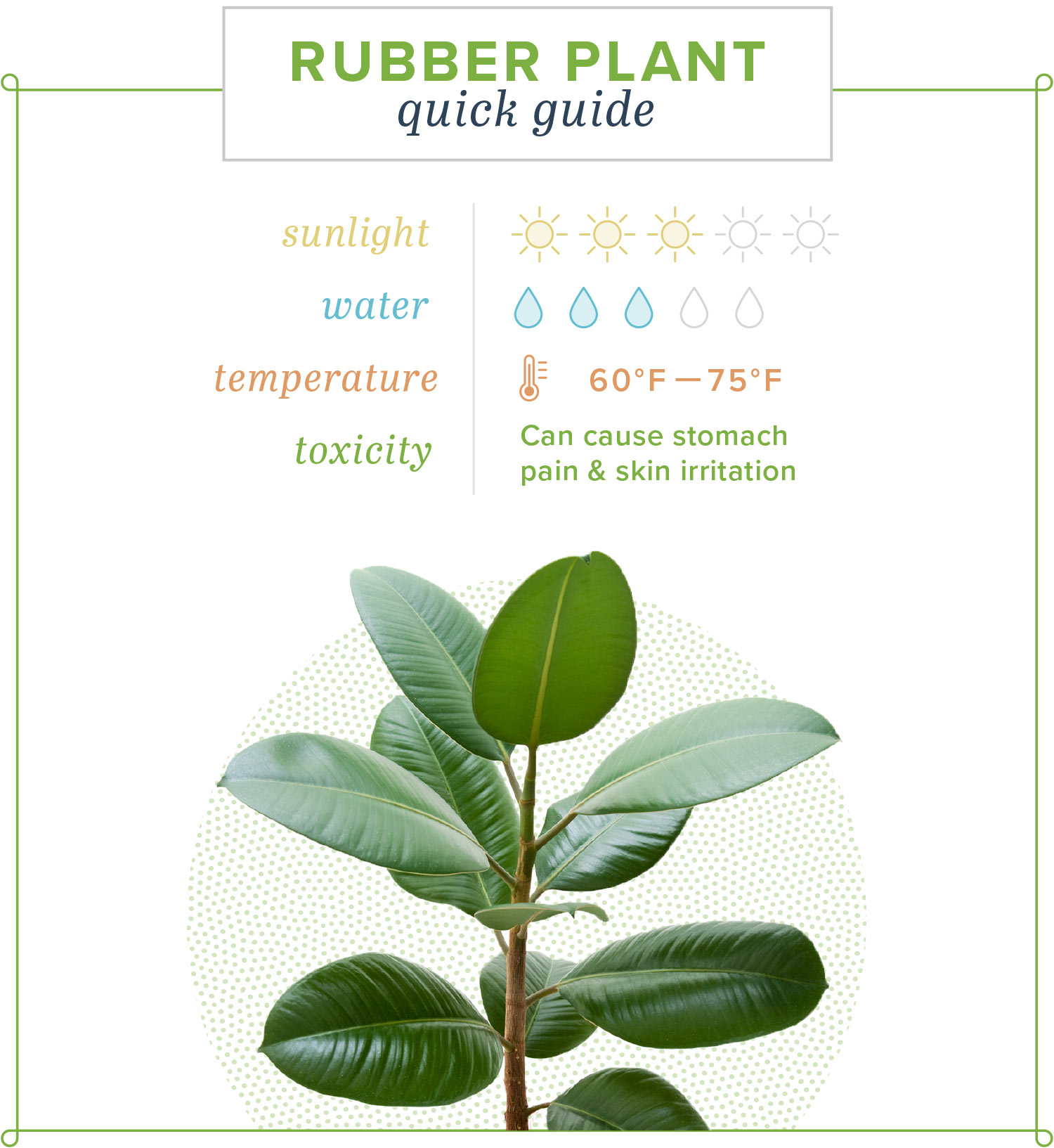 rubber plant quick guide