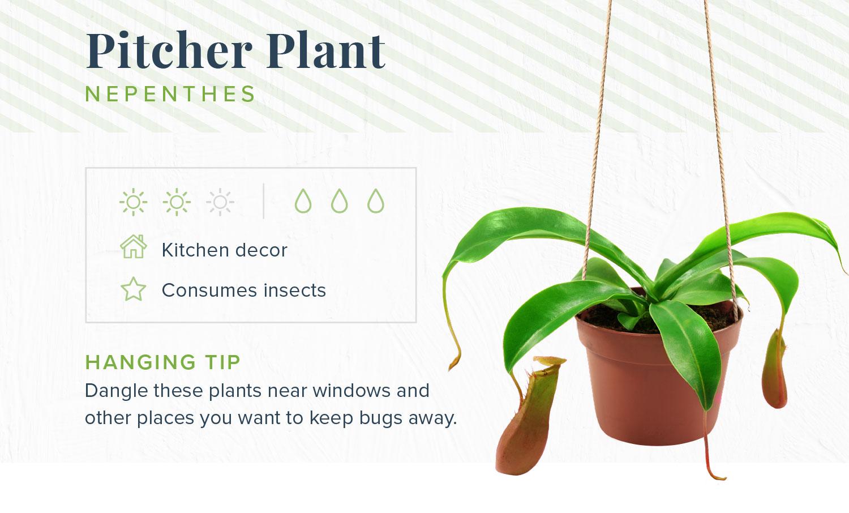 pitcher plant indoor hanging plants