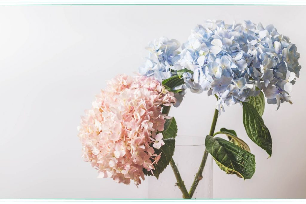 blue and pink hydrangea in glass vase
