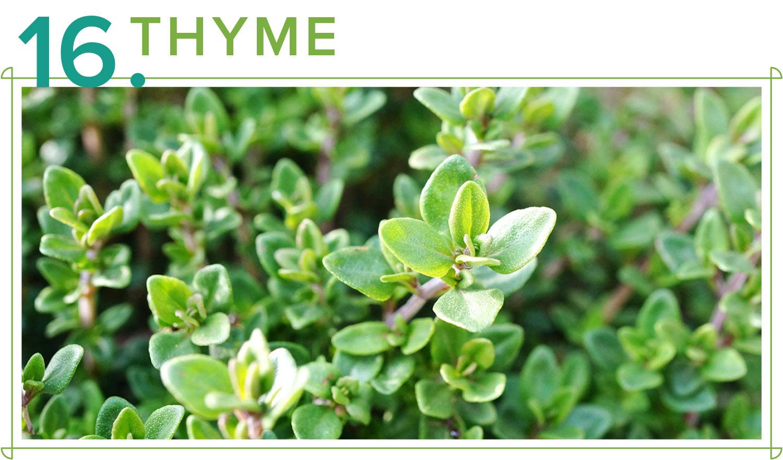 medicinal plants thyme