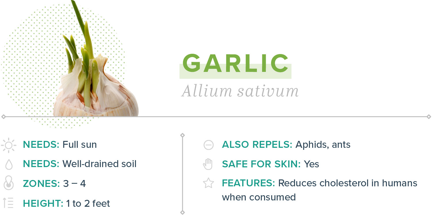 garlic plants that repel mosquitoes