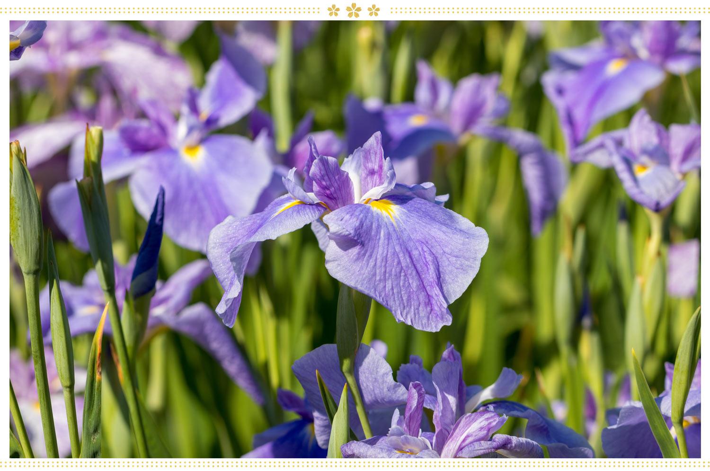 japanese flowers shobu