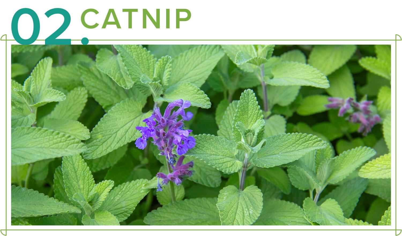 catnip medicinal plants