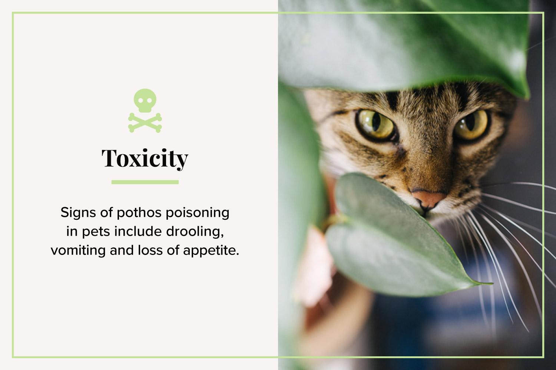 toxicity cat behind pothos