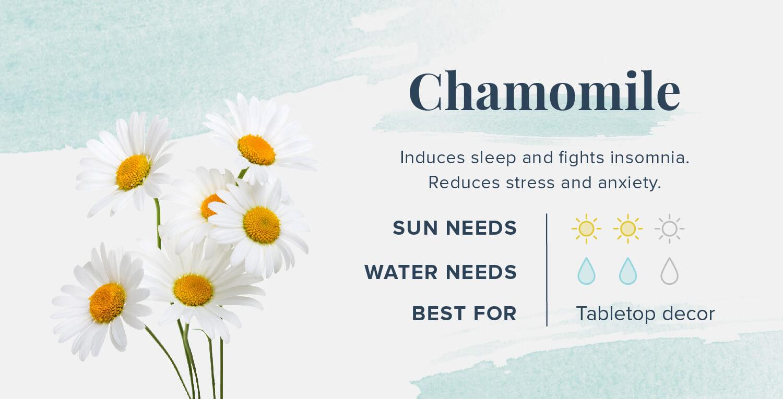 chamomile plants that help you sleep