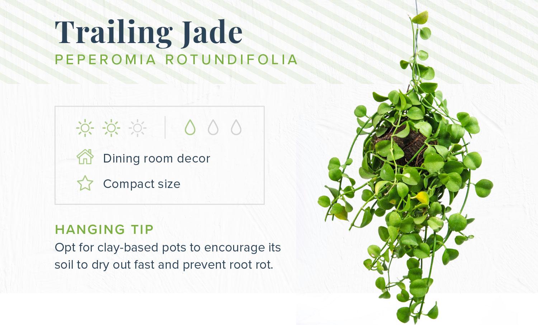 trailing jade indoor hanging plants