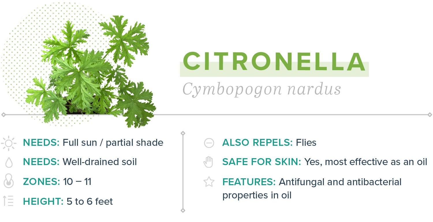 citronella plants that repel mosquitoes width=