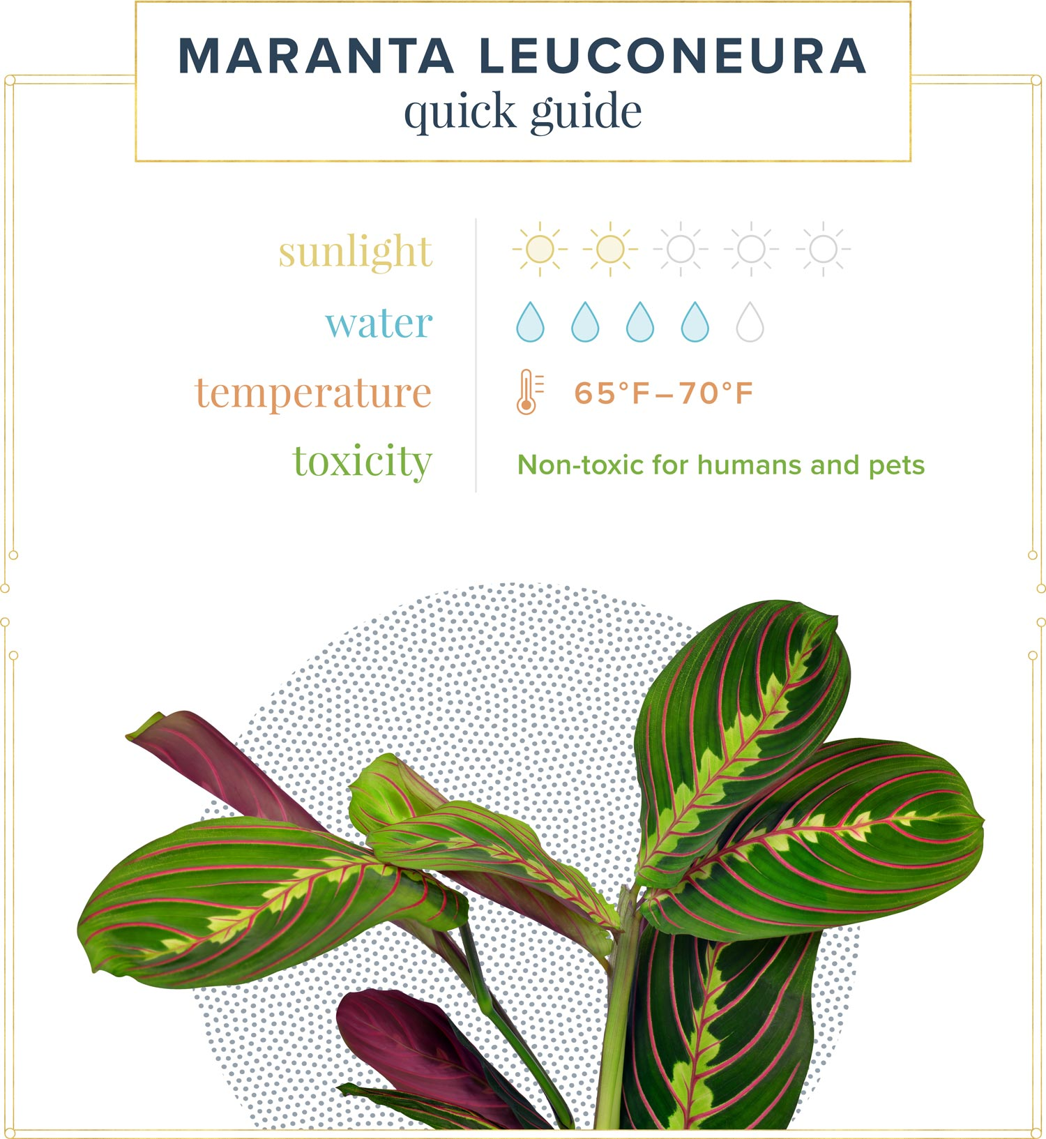 Maranta leuconeura quick guide. Sunlight: 2 out of 5 suns Water: 4 out of 5 water drops Temperature: 65 - 70ºF Toxicity: Non-toxic for humans and pets