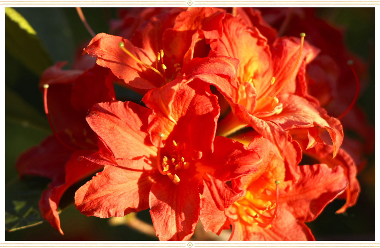 image of a orange or fireball hardy azalea flower