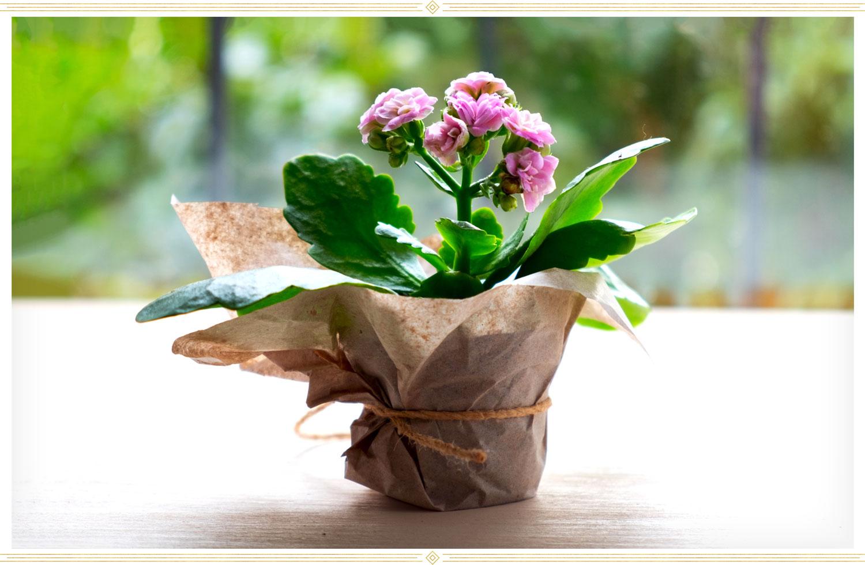 an image of an azalea flower potted an set on a window sill