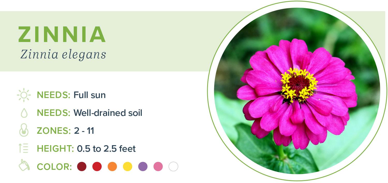 annual flowers zinnia information