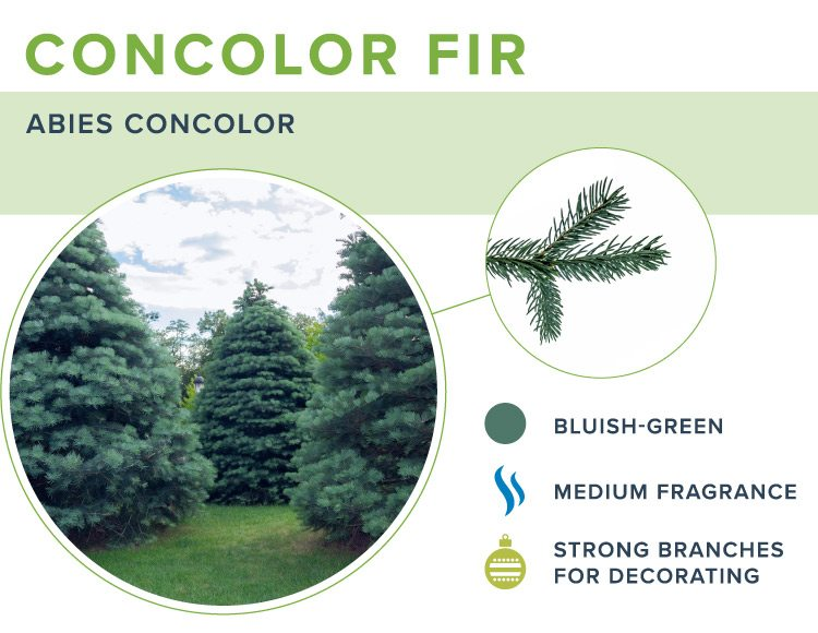 types of christmas trees concolor fir
