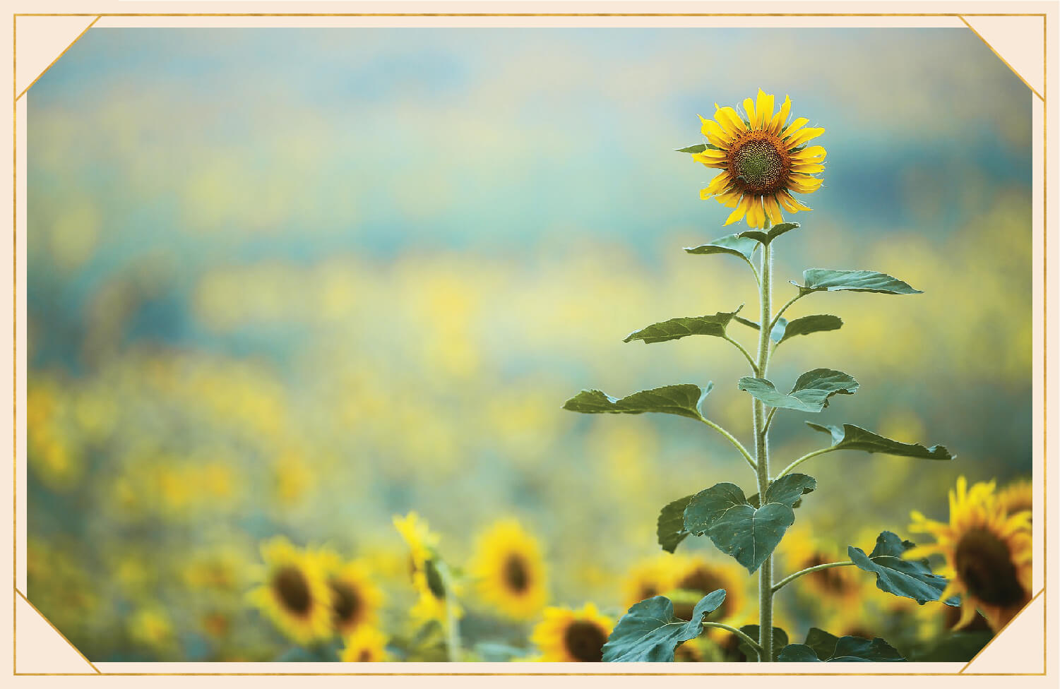 tall yellow sunflower with green leaves in a field