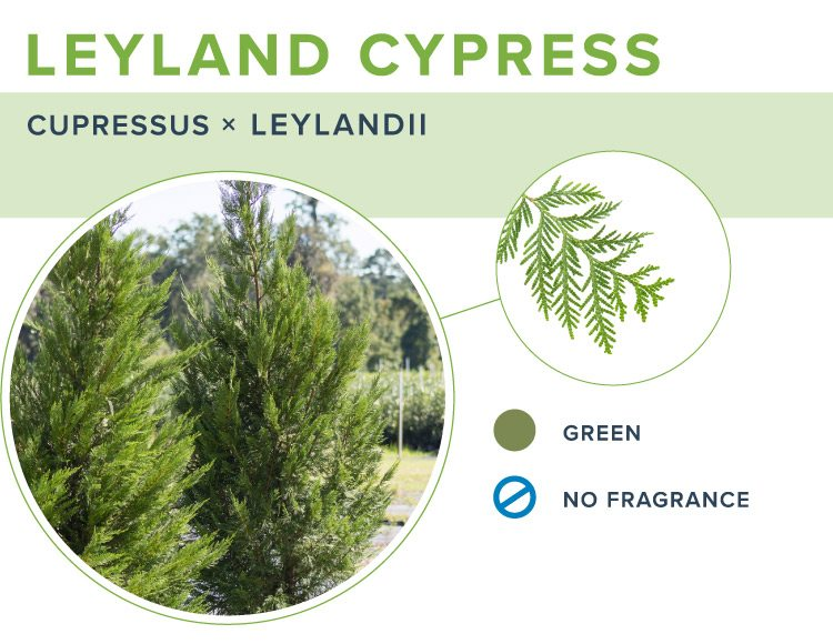types of christmas trees leyland cypress