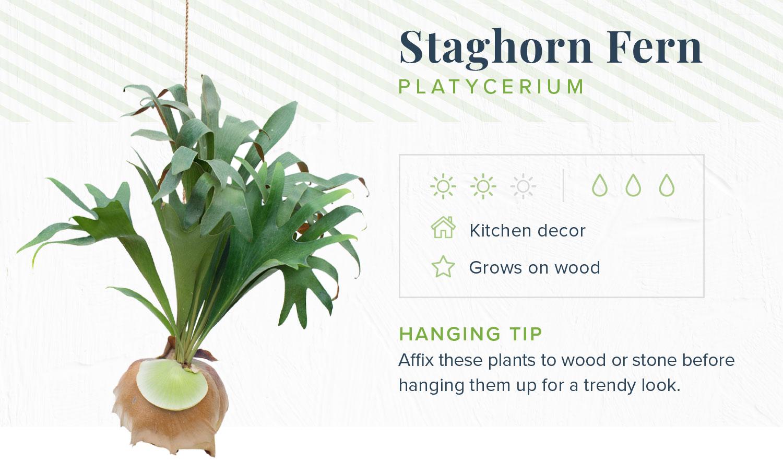 staghorn fern indoor hanging plants
