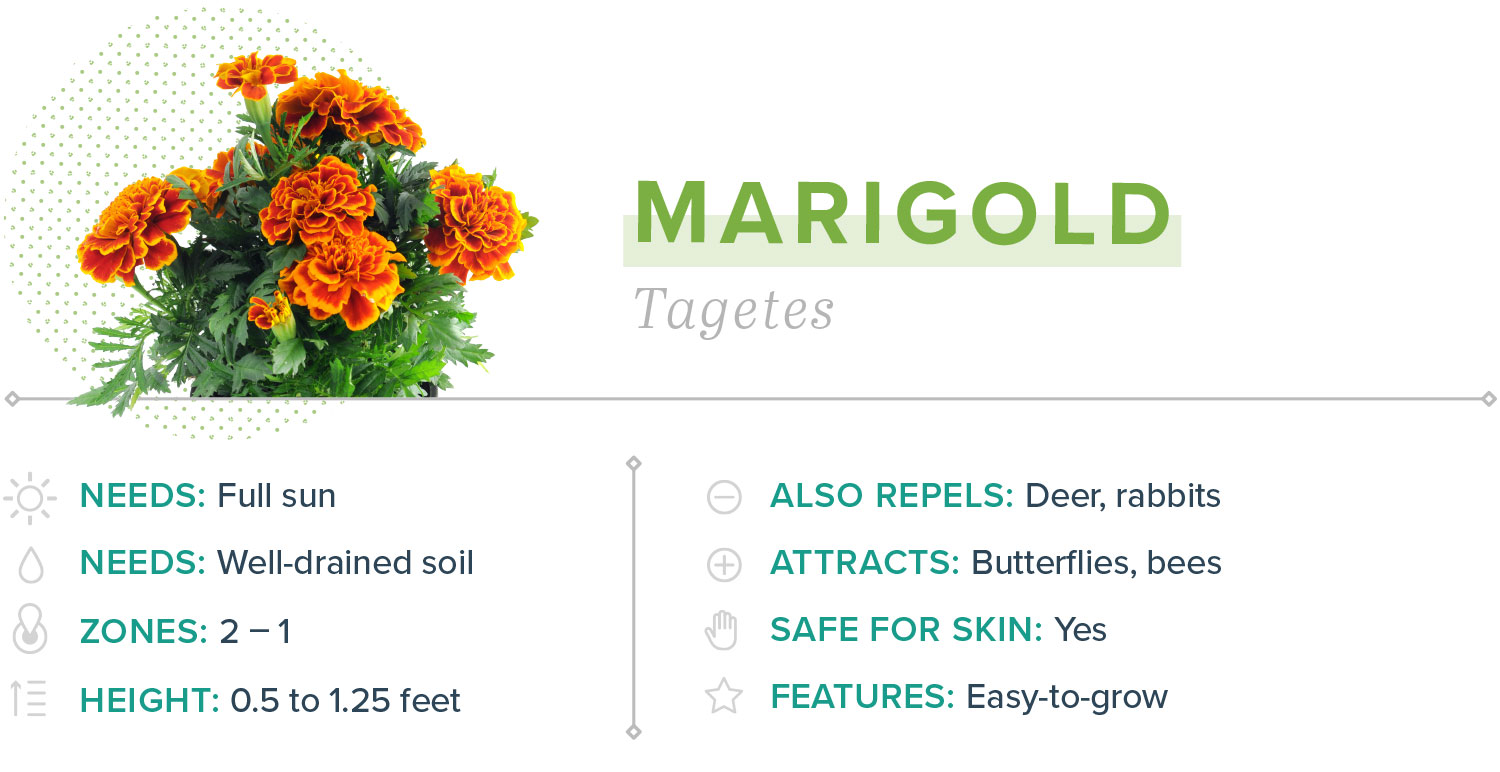 marigold plants that repel mosquitoes