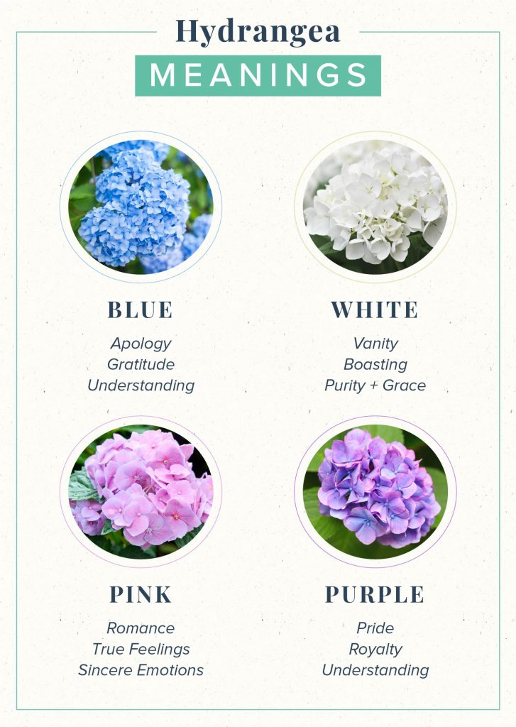 hydrangea meaning guide for blue, white, pink and purple