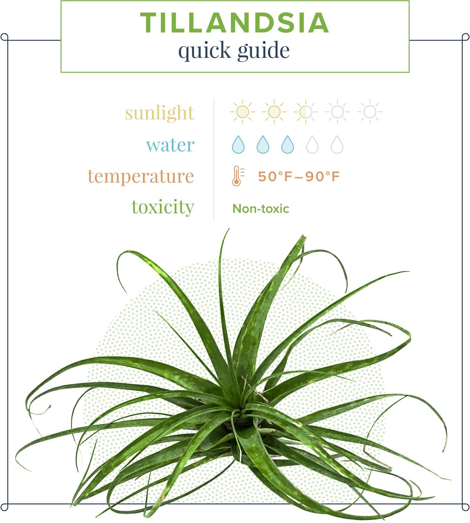 Air Plant (Tillandsia) Quick Guide Sunlight: 2.5 suns Water: 3 suns Temperature: 50–90° F Toxicity: Non-toxic
