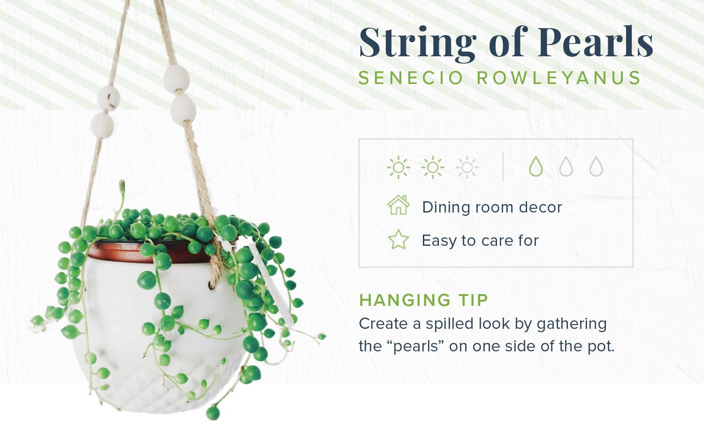 string of pearls indoor hanging plants