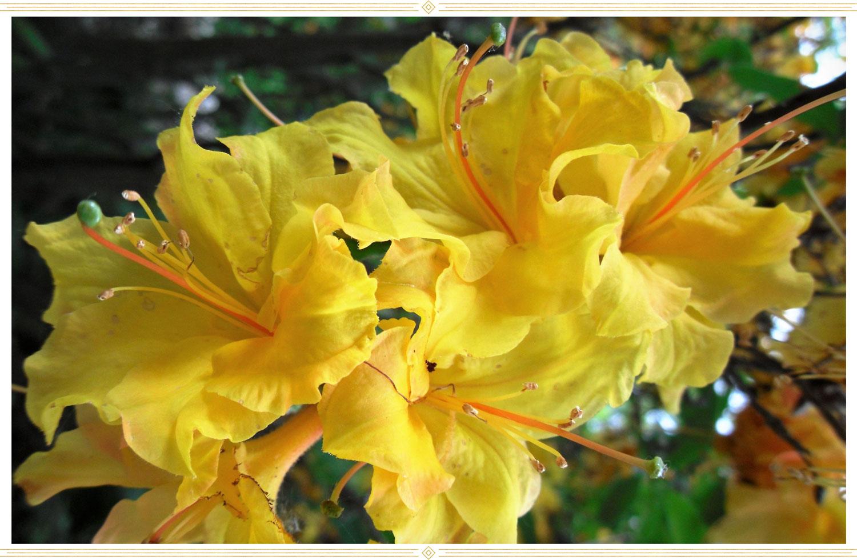 image of a yellow azalea flower