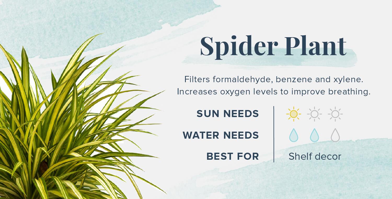 spider plant plants that help you sleep