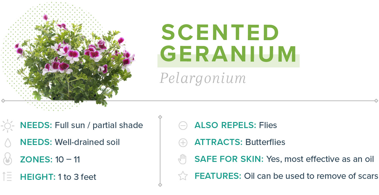 scented geranium plants that repel mosquitoes